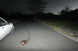 Penguin roadkill on Robben Island