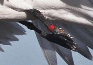 tern leg close-up