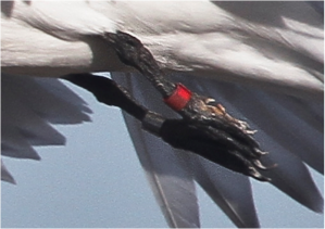 tern leg close-up