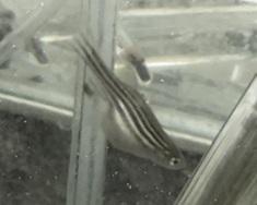 zebrafish-adult
