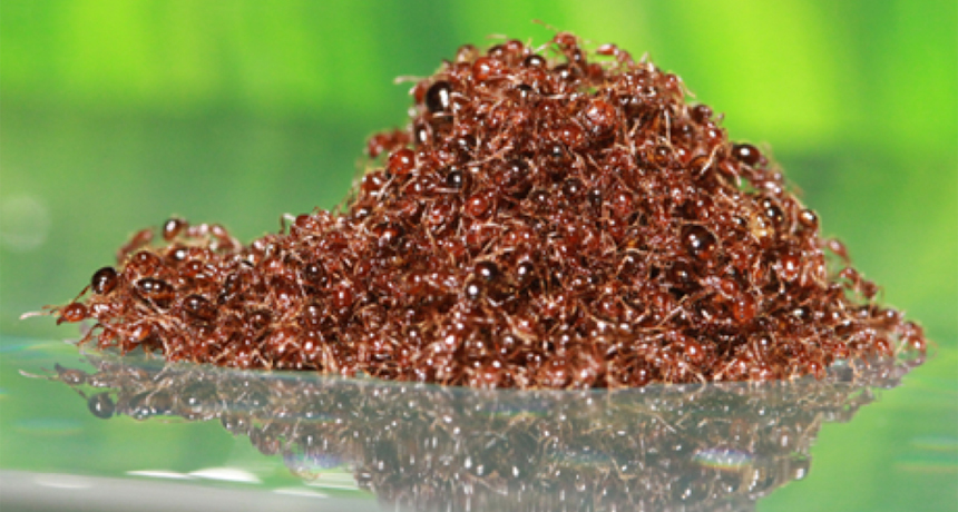 Fire ant raft